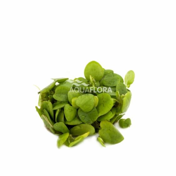 Limnobium laevifolium - zselés