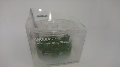 "Anubias barteri var. nana spec "" bonsai"""