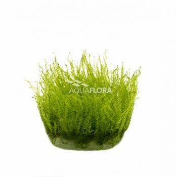 Leptodyctyum riparium (Stringy Moss) - zselés