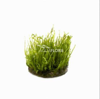 "Vesicularia species "" Creeping "" - zselés"