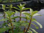 Ammania gracilis
