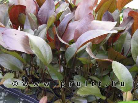 "Echinodorus ""Aflame ®"""
