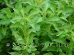 Alternanthera betzickiana green