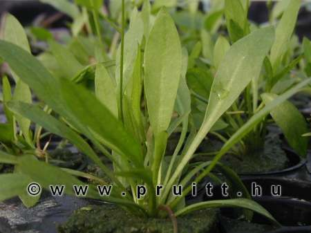 Echinodorus istimicus