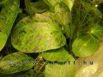 Echinodorus ozelot grün
