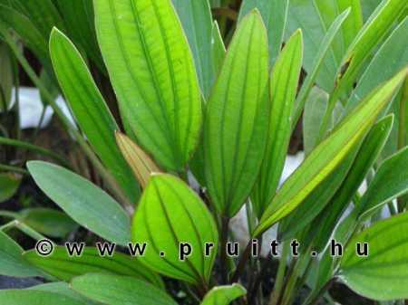 Echinodorus rosea