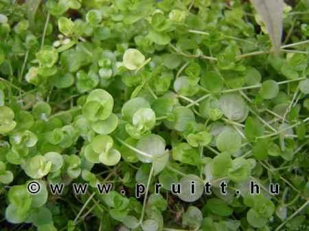 Micranthenum umbrosum