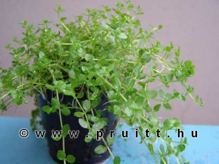 Micranthenum micranthemoides