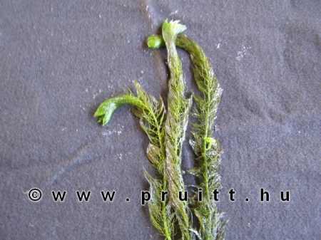 Myriophyllum scabratum
