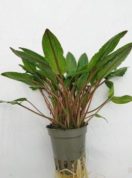 cryptocoryne viridifolia
