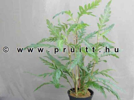 Hygrophila pinnatifida