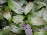 Echinodorus Greenflame