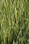 Acorus calamus variegata