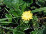 Caltha palustris multiplex