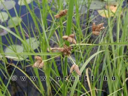 Chlorocyperus glonerata