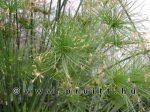 Cyperus haspan