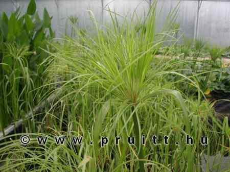 Cyperus papirus