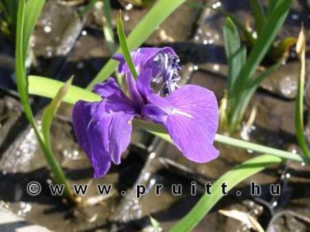 Iris kaempferi blue