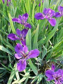 Iris louisiana