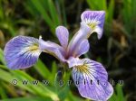 Iris verticolor