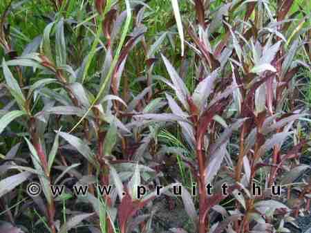 "Lobelia cardinalis ""queen victoria"""