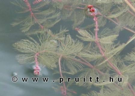 Myriophyllum Spicatum