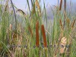 Typha angustifolia