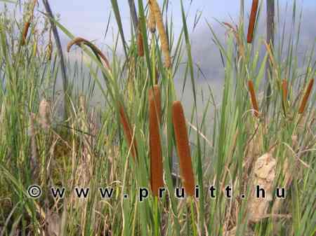 Typha angustifolia