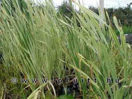 Typha latifolia variegata