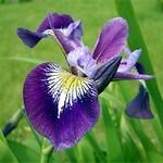 "Iris versicolor ""Kermesina"""