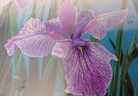 """Iris kaempferi """"Prairie Glory"""""""
