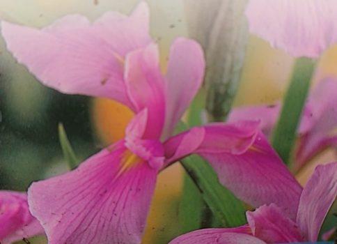 """Iris laevigata """"Rose Queen"""""""