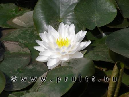Nymphaea Gonnere