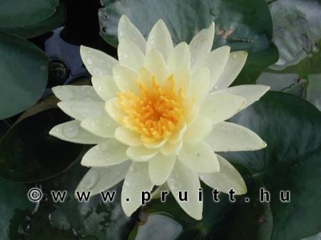 Nymphaea Lemon Mist
