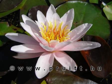 Nymphaea Marliacea Rosea