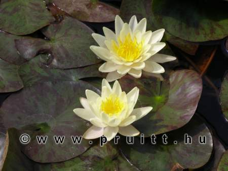 Nymphaea Marliacea Chrotella
