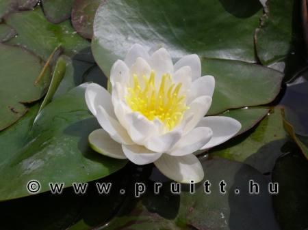 Nymphaea Marliacea White Albida