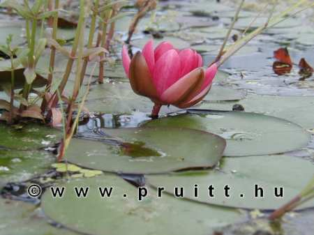 Nymphaea Perry's Baby Red