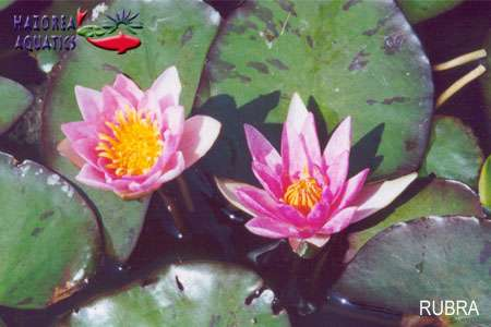 Nymphaea Pygmea Red