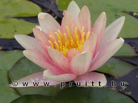 Nymphaea Sioux