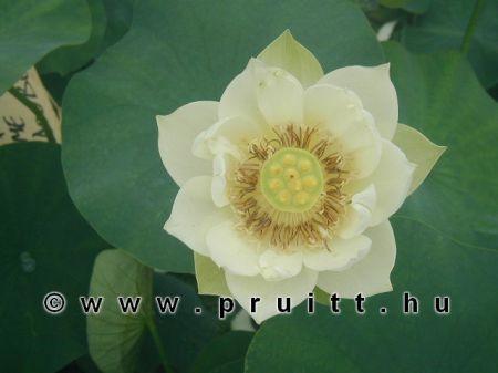 "Nymphaea Nelumbo Nucifera ' White """