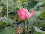 Nymphaea Nelumbo Nucifera ' Rose '