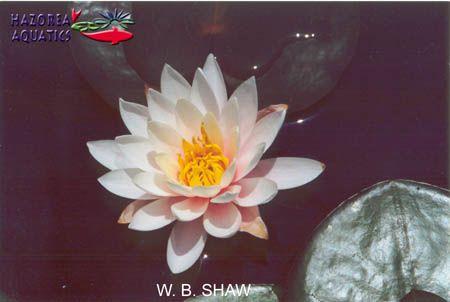 Nymphaea W.B.Shaw