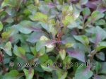Alternanthera red water roses