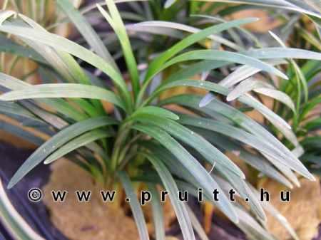 Ophiopogon japonica 'Pussilus'